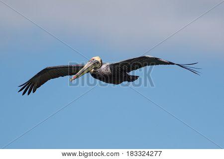 Brown pelican Pelecanus occidentalis flight on the sky