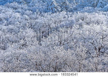 Frozen forest in Huangshan National park. China.