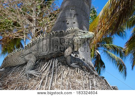 Cyclura nubila Cuban rock iguana on the palm tree