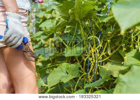 Woman gathers cucumbers in a greenhouse with a special tool
