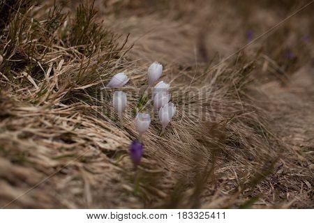 Spring flowers. Blooming violet crocuses in mountains. Glade primroses. Solar landscape. Carpathians Ukraine Europe