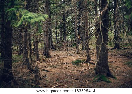 Forest of pine in the mountains spring