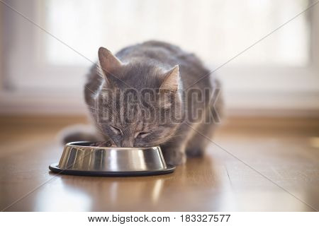 Beautiful tabby cat sitting next to a food bowl placed on the floor next to the living room window and eating. Selective focus