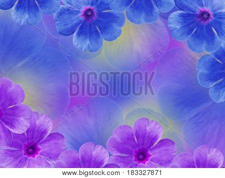 Blue purple violets flowers. Garden flowers. Closeup. For designers For background. Nature.