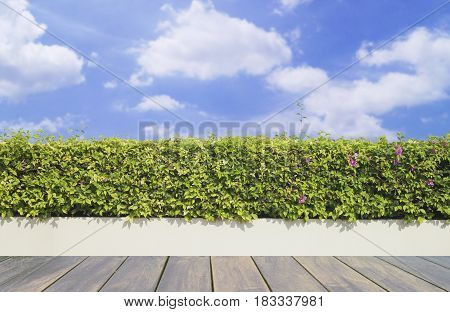 Old wooden decking and plant with wall garden decorative on blue sky and white cloud