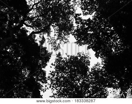 Worms eye view of overhead trees creating a sihouette texture.