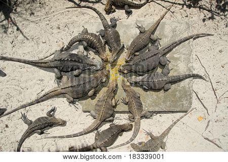 Cyclura nubila Cuban rock iguanas are feeding