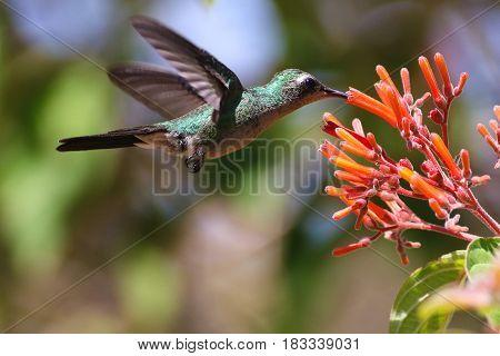 Flying Cuban Emerald Hummingbird Chlorostilbon ricodi feeds on red flower