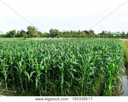 Motion Of Leaf Of Corn Plantation With Wind In Farming
