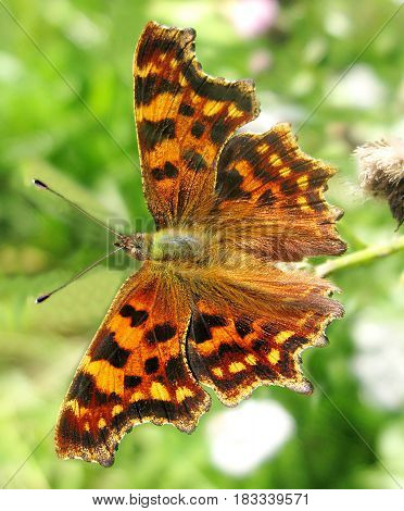 bright comma polygonia butterfly insect on green background