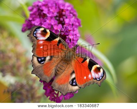 Peacock butterfly resting on a buddleia flower