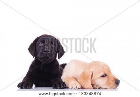black little labrador retriever puppy lying next to sleepy brother on white background