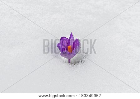 Beautiful spring crocus flower isolated on white snow background