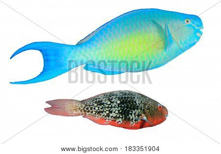 Reef fish isolated on white background. Rusty Parrotfish and Red Parrotfish