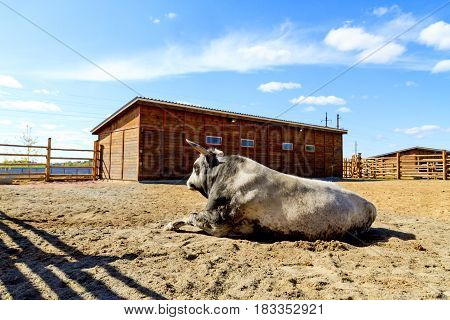 breeding bull lying in the fence, Animals on the farm