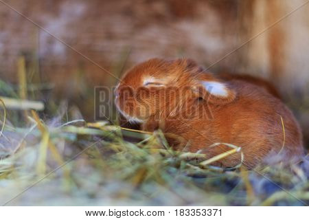 little red bunny sitting in a nest, Animals on the farm