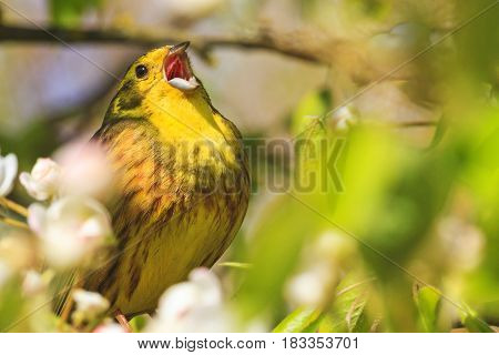 songbird singing song loud voice, forest birds and wildlife
