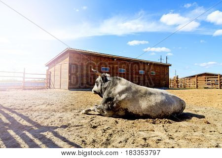 Tribal bull lying in the fence on the ranch, Animals on the farm