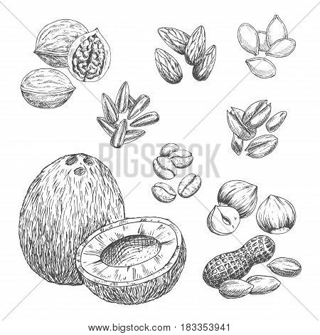 Nuts sketch icons of coconut, coffee beans and cashew or peanut. Vector isolated walnut or hazelnut, sunflower and pumpkin seeds, almond or pistachio and pine nut kernels for vegetarian nutrition