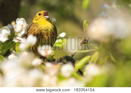 Yellow hammer singing the song of spring flowers, forest birds and wildlife