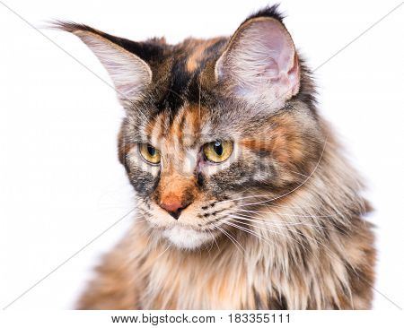Portrait of domestic tortoiseshell Maine Coon kitten. Fluffy kitty isolated on white background. Adorable curious young cat sitting and looking away.