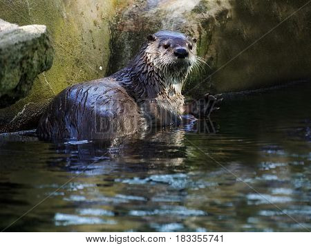 Brown otter looking away from the camera. River otter.