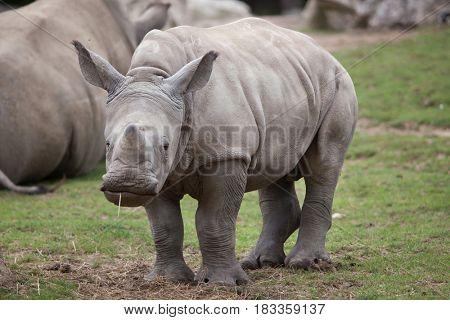 Southern white rhinoceros (Ceratotherium simum simum). Little rhino.