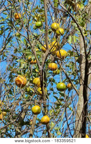 Ponkan Tree With Some Ripe Fruits
