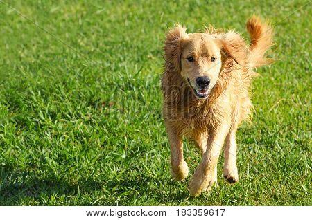 Happy Dog Running On A Green Field.
