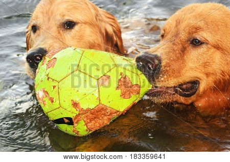 Two Wet Dogs Playing With A Ball On A Lake.