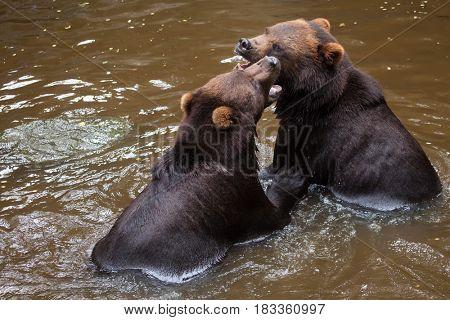 Kamchatka brown bears (Ursus arctos beringianus), also known as the Far Eastern brown bears fighting in water.