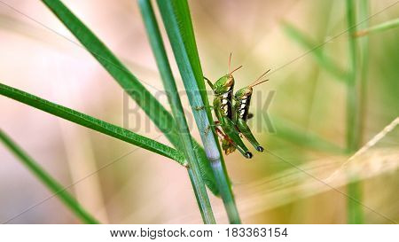 Grasshoppers mate on a grass. Koh Tao Thailand