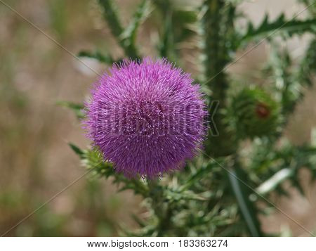 The thorny thistle bloom in full ball development shows its beauty before the beauty turns to seed and is carried far and wide by the wind.