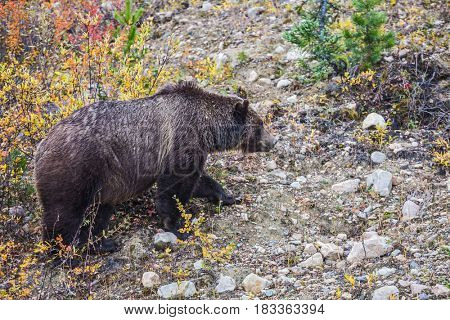 Big brown bear looking for nuts, roots and stems of grass next to the road. Autumn forest in Jasper National Park, Canada