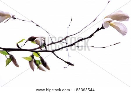 Buds of the white magnolia on a white background