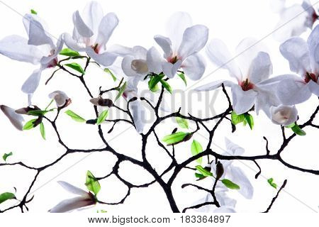 Branches of white magnolia on a white background