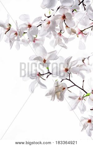 White big flowers of the white magnolia on a white background