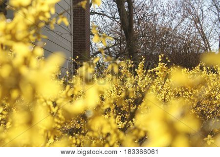 yellow spring flowers in soft focus light