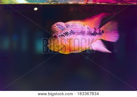 Colorful of cichlids.Rhino fish in led aquarium with glowing fins