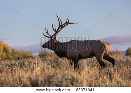 a big bull elk at sunrise during the fall rut in Wyoming