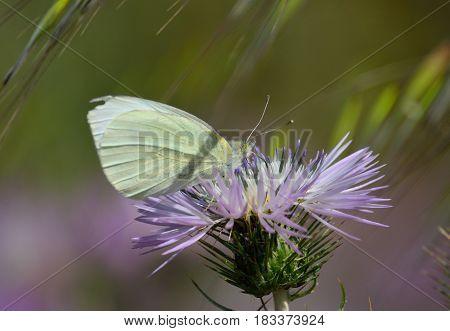 White butterfly on splendid flower of wild thistle