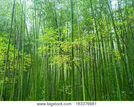 lush green bamboo forest nature background scenic