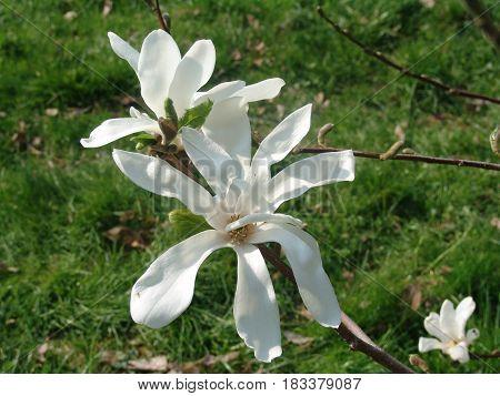 Magnolia soulangeana saucer magnolia is a hybrid plant in the genus Magnolia and family Magnoliaceae.