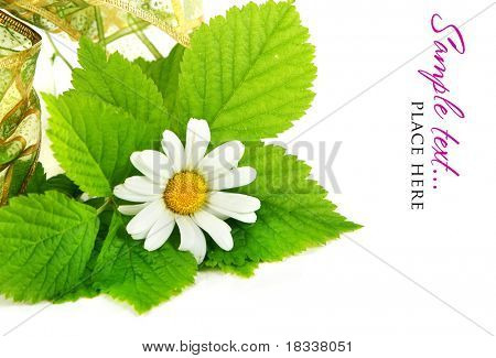 Stock Photo: Daisy flowers in white background (shallow DOF)