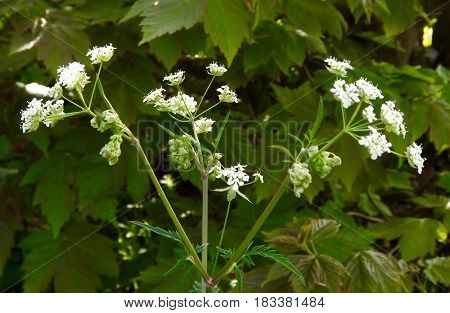 Cow Parsley (anthriscus sylvestris) also known as wild chervil