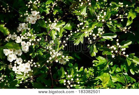 Hawthorn blossom also known as mayflower, common Spring blooms