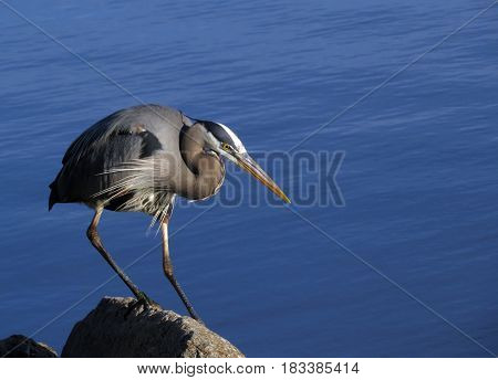 A Great Blue Heron perched on a rock with a blue lake background.