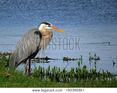 A Great Blue Heron standing in the edge of a blue lake with green in the foreground.