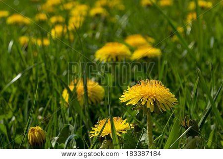 Close-up On Some Dandelion Flowers - Meadow On An Organic Farm On Europe Spring - Taraxacum Officina