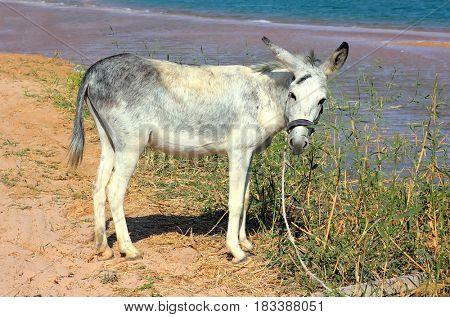 grazing donkey on beach near sea
